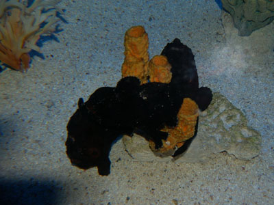 Ocellated Frogfish