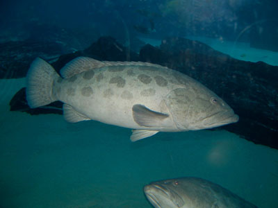 Potato Grouper