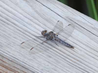 Unidentified Dragonfly