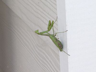 Unidentified Mantis