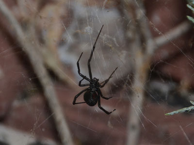 Western Black Widow