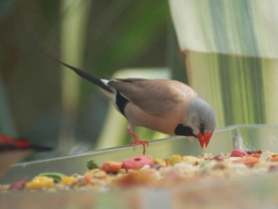 Heck's Shaft-tailed Finch
