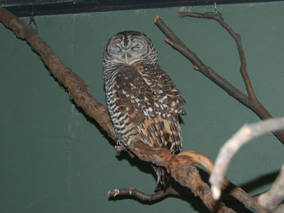 Rufous-banded Owl