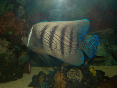 Six-barred Angelfish