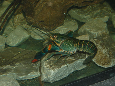 Red-clawed Yabby