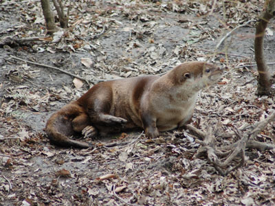 Canadian River Otter