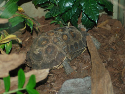 Home's Hinge-back Tortoise