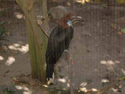 Black-casqued Wattled Hornbill