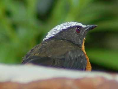 White-crowned Robin-Chat