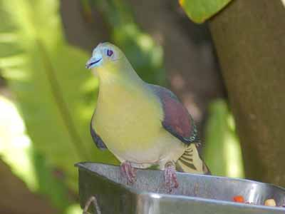Japanese White-bellied Green-Pigeon