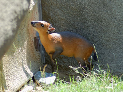 Western Red-flanked Duiker