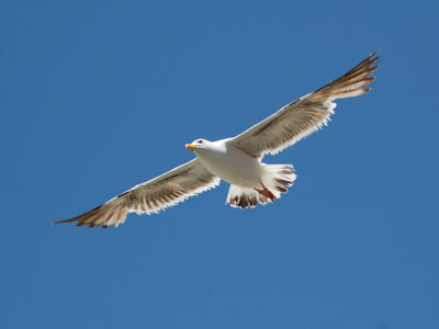 Unidentified Gull