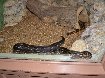 Madagascar Ground Boa
