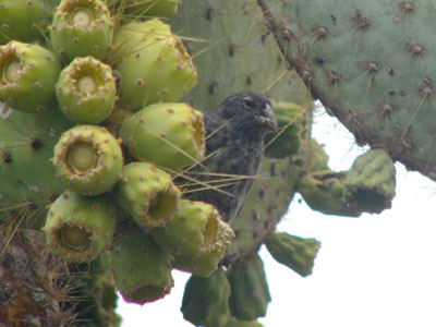 Common Cactus-finch