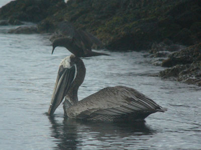 Brown Pelican & Brown Noddy