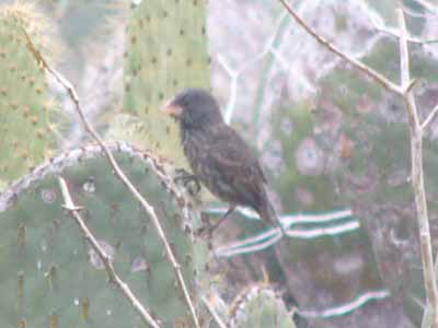 Large Cactus Finch