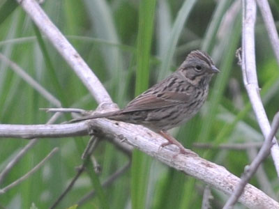 Lincoln's or Song Sparrow