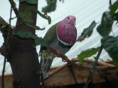Pink-headed Fruit Dove