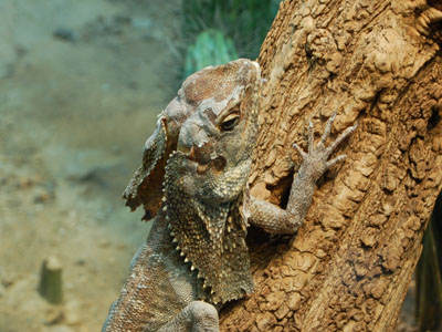 Frilled Lizard
