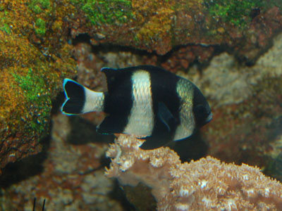 Four-stripe Damselfish