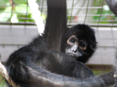 Colombian Black-headed Spider Monkey