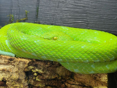 Rowley's Palm Viper
