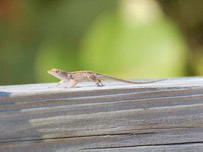 Unidentified Lizard