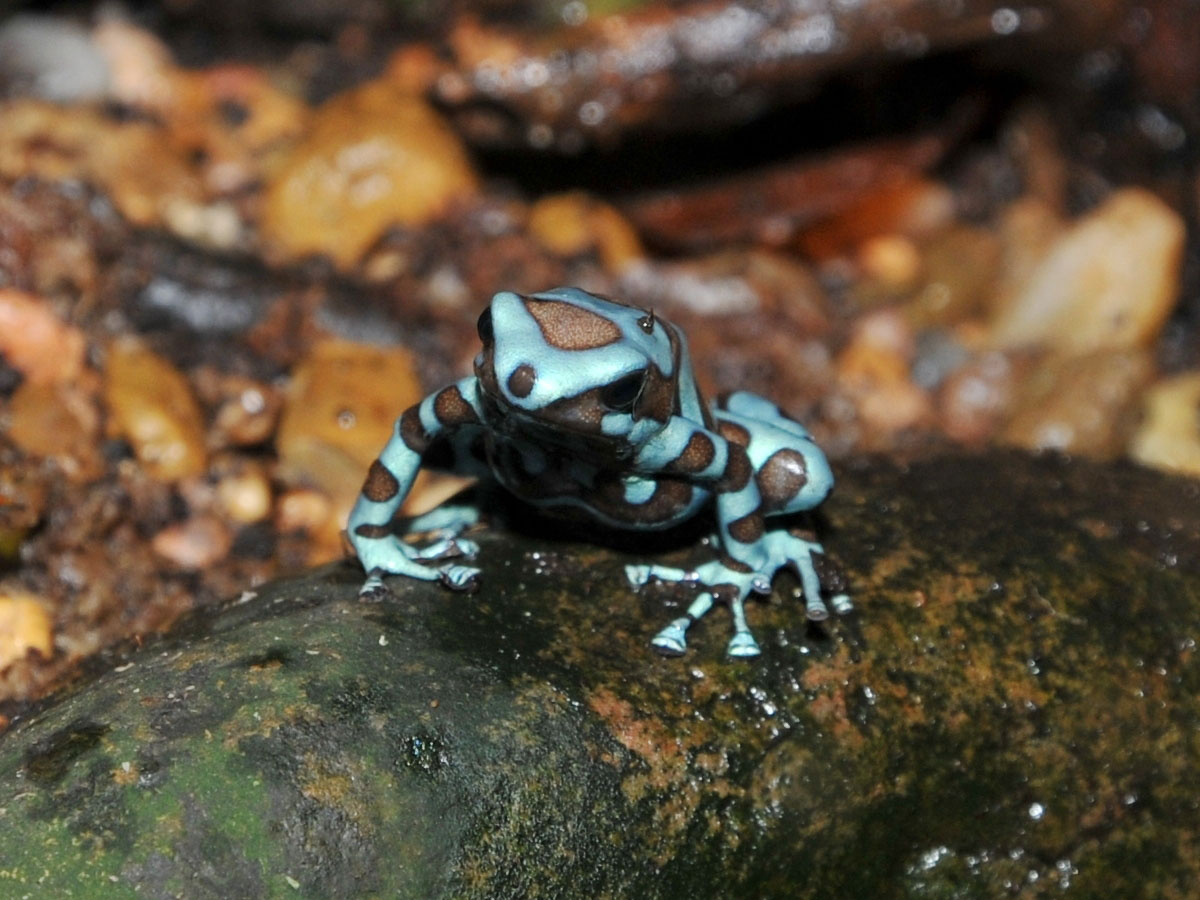 The Online Zoo - Green & Black Poison Dart Frog Poisonous Green Frogs In Texas