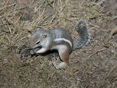 Antelope Squirrel