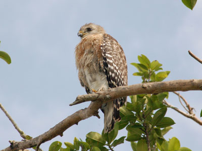 South Florida Red-shouldered Hawk