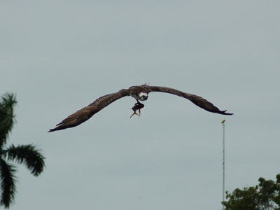 North American Osprey