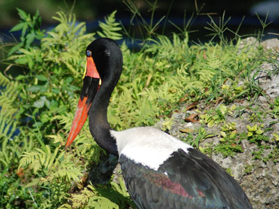 Saddle-billed Stork