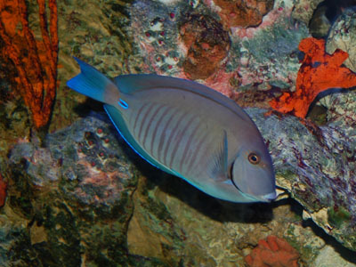 Doctorfish