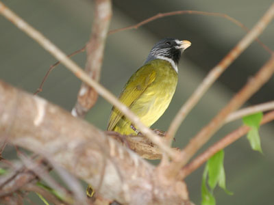 Chinese Collared Finchbill