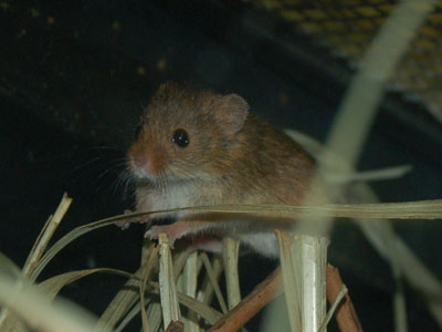 European Harvest Mouse