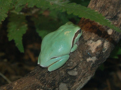 Pine Barrens Tree Frog