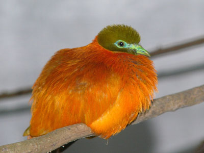 Orange Fruit Dove