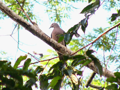 Barking Imperial Pigeon