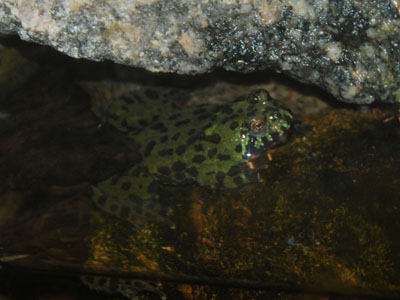 Oriental Fire-bellied Toad