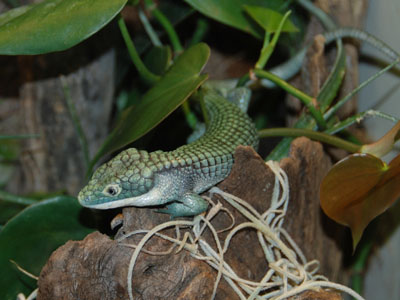 Mexican Alligator Lizard