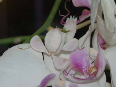 Orchid Mantid