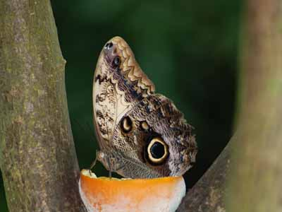 Tawny Owl Butterfly