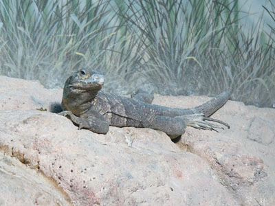 Cape Spinytail Iguana