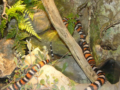 Baja Mountain Kingsnake