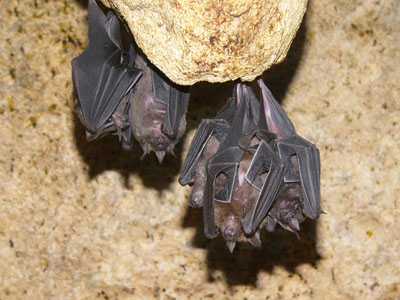 Seba's Short-tailed Bat