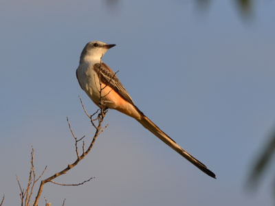 Scissor-tailed Flycatcher