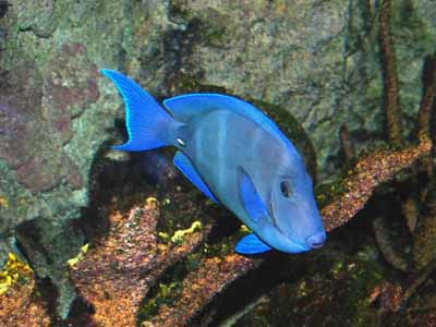 Atlantic Blue Tang