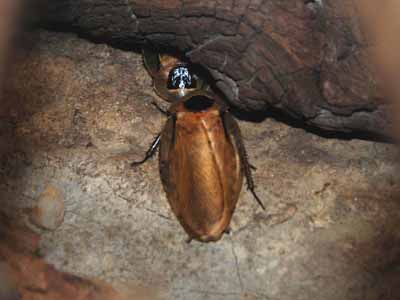 Brazillian Giant Cockroach