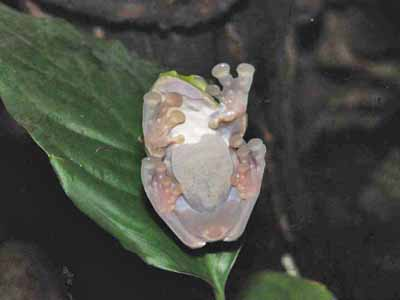 Maroon-eyed Tree Frog