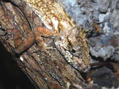 Short-bearded Anole